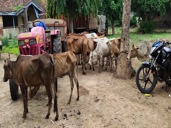 Police nabbed two cow smugglers in the Vizianagaram district of Andhra Pradesh in the wee hours of Tuesday. Photo/ANI