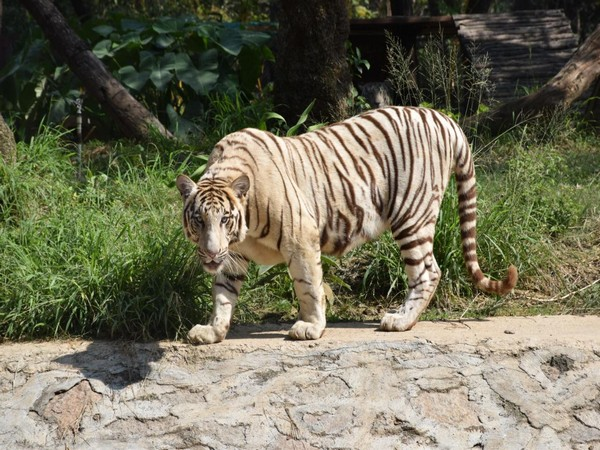 The 14-year-old male white tiger named Badri. Photo/ANI