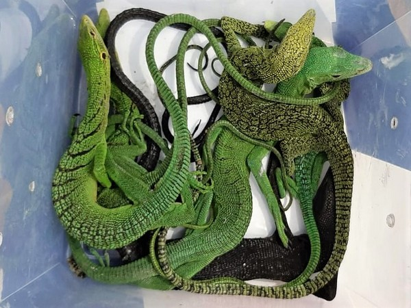 The seized reptiles from the Chennai International Airport on Thursday. Photo/ANI