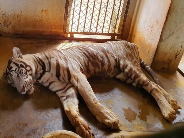 The body of Subranshu at the Nandankanan Zoological Park in Odisha's Bhubaneswar. Photo/ANI