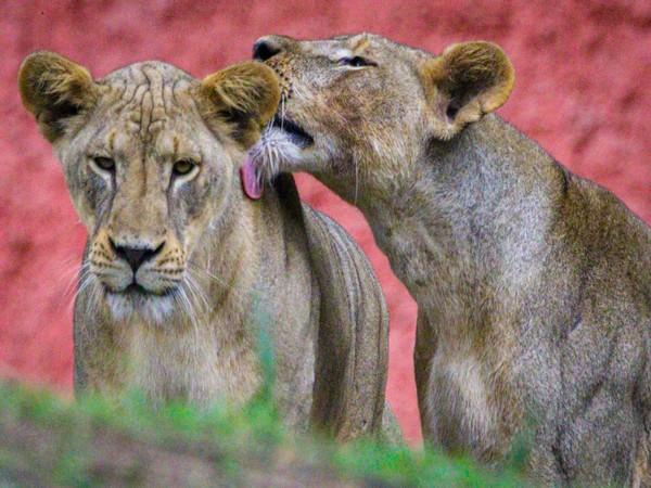 Gland Pharma adopts 27 animals at Nehru Zoological Park (Photo/ANI)