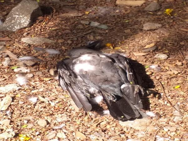 Crow found dead in Mumbai's Chembur area on Sunday.