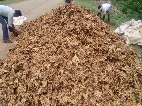 Karnataka farmers face tough time due to sharp fall in ginger prices
