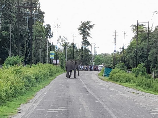Wild elephant strays into West Bengal village, destroys tea garden (Photo/ANI)