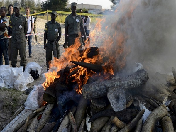 Conservation officials burning tonnes of seized ivory horn (Photo Credit - Reuters)