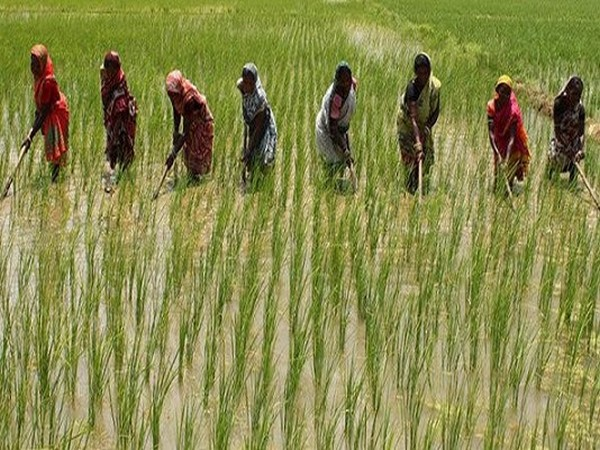 Women farmers in Raygada, Odisha working in their rice fields