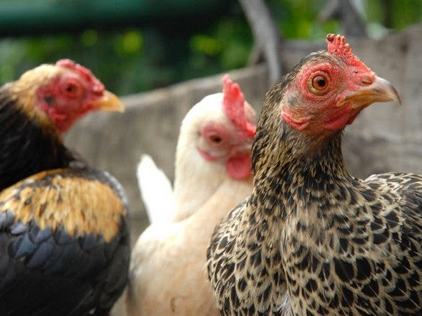 Chickens are animals too and should not be treated as products for consumption