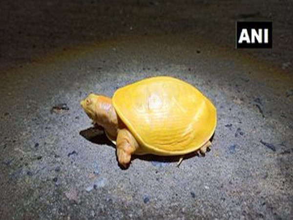 The yellow turtle rescued by locals in Balasore, Odisha. Photo/ANI