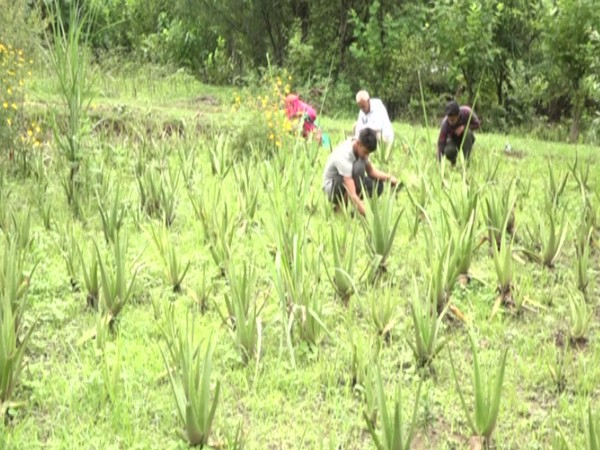 Aloe Vera plantation in Udhampur district of Jammu and Kashmir. [Photo/ANI]