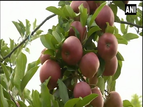 High-density plants provided by Centre help growers to increase apple production in J-K's Kupwara. (Photo/ANI)
