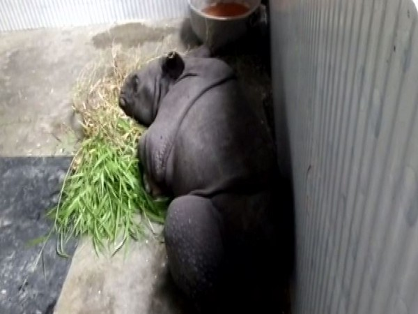 A baby rhino rescued from Kaziranga National Park on Thursday (Photo/ANI)