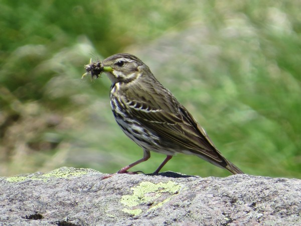 Birds actively hunt insects especially during the breeding season, when they need protein-rich prey to feed to their nestlings.