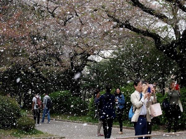 Cherry blossom tree (representative image)