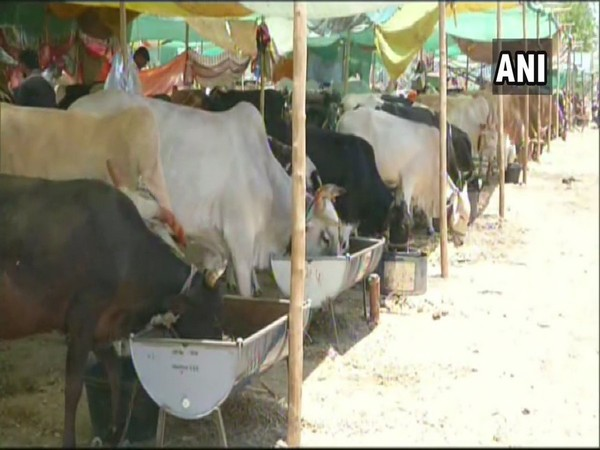 Fodder camp aka 'Chara Chawani' for cattle in the drought-hit Aurangabad district's Lasur village. Photo/ANI