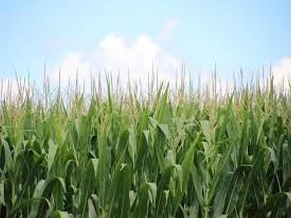 The authors found that, on a global level, corn is the most susceptible to such crop failures.