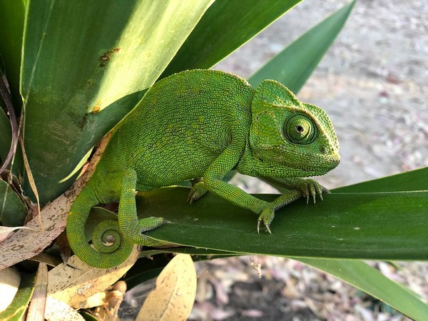 By watching time-lapse images of chameleon skin, the researchers noticed that only a small fraction of skin cells actually contain photonic crystal arrays, while the rest are colourless.