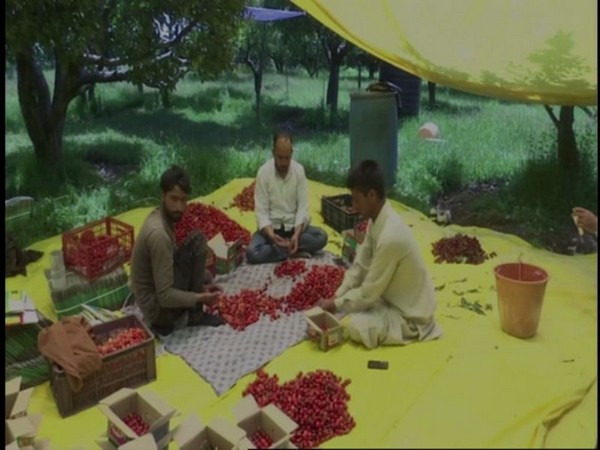 Workers at a Srinagar orchard pack cherries for the market. [Photo/ANI]