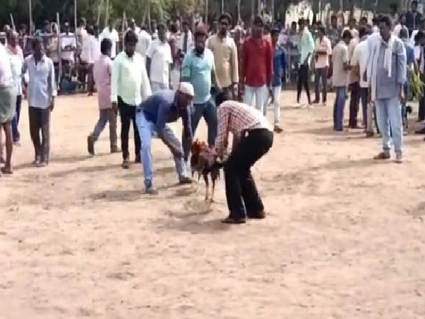 A visual from a cockfight in Machilipatnam, Andhra Pradesh on Tuesday.