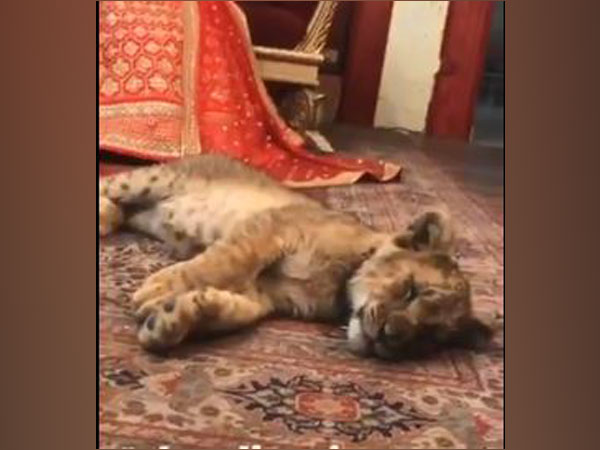 A sedated lion cub used in bridal photoshoot in Pakistan (Twitter)