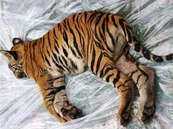 The tiger cub who died in Bandhavgarh National Park. Photo/ANI