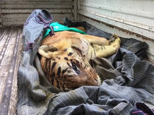 The carcass of tiger B1 (ANI).