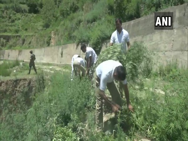 A team of SSB personnel and doctors destroying cannibus plantation in Doda, Jammu and Kashmir on June 26. Photo/ANI