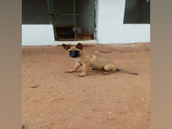 Khoj, dog of Belgian Malinois breed