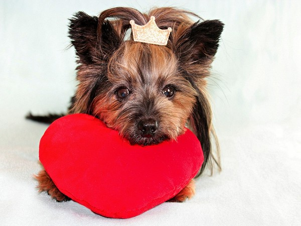 Owning a dog also has been linked to better mental health in other studies and less perception of social isolation, both risk factors for heart attacks.