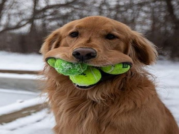 The six-year-old pooch named Finely can fix six tennis balls in his mouth (Picture courtesy: Instagram)