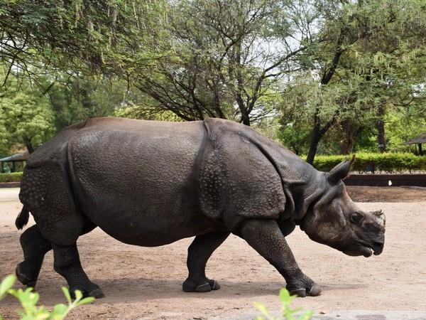 A Rhinoceros in Hyderabad's Nehru Zoological Park (Photo/ANI)