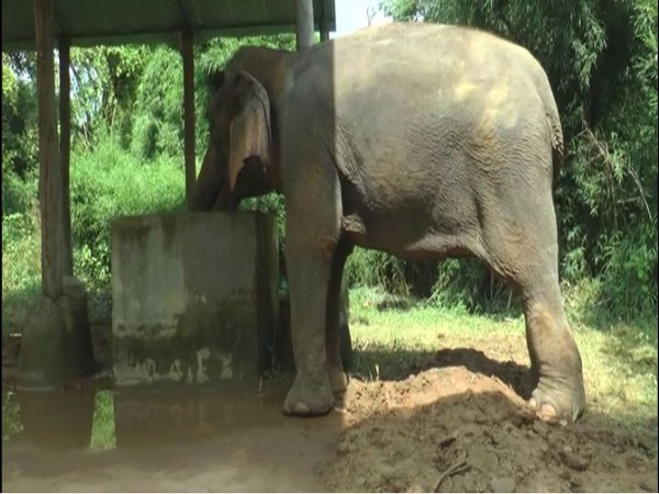 Elephant Lakshmi drinking water Ban Santour elephant rehabilitation center in Haryana [Photo/ANI] at
