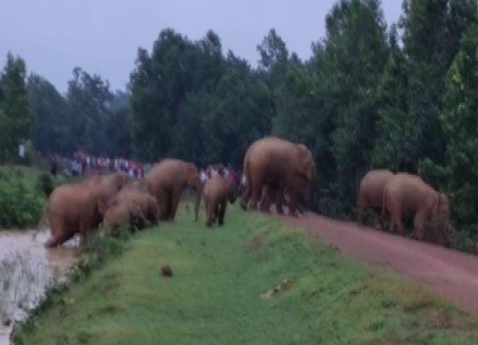 Herd of wild elephants roaming in Odisha's Mayurbhanj and Keonjhar districts. (Photo/ANI)