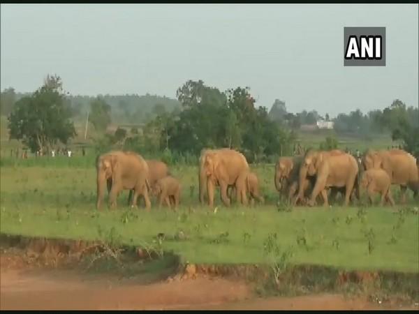 A herd of 22 wild elephants created havoc in Karanjia village of Odisha.