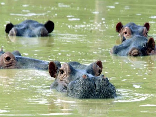 The researchers expressed their concern that hippos are dangerous animals so it is extremely hard to catch or confront them