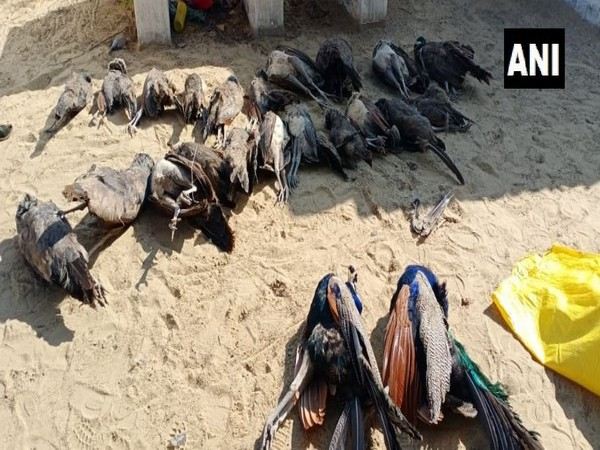 The carcases of the 23 peacocks which were found dead in Rajasthan's Bikaner on Tuesday. Photo/ANI