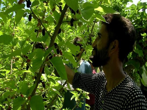 Mulberry harvesting (Photo/ANI)