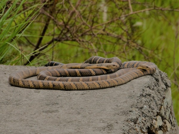 Visual of two King Cobras mating