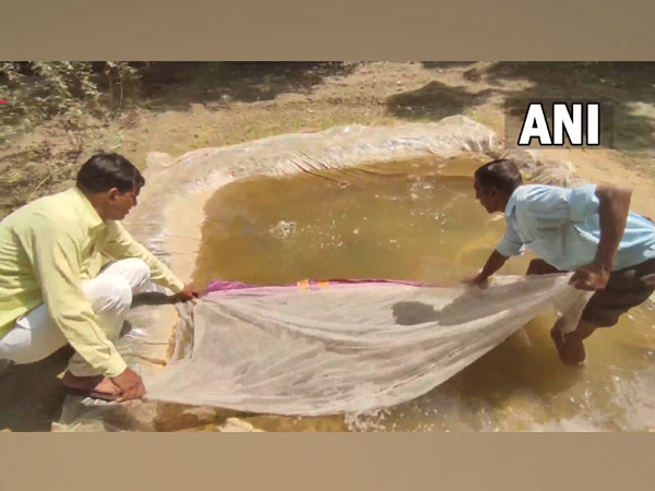 Visuals of Gambusia fish being released in a pond. (Photo/ANI)