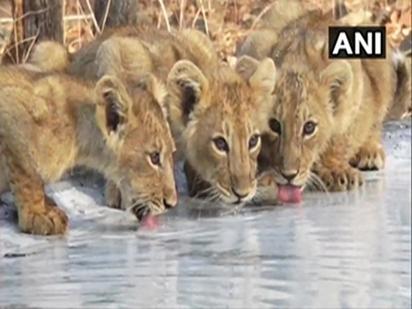 Cubs drinking water from recently installed water point in Gujarat's Gir National Park. (Photo/ANI)