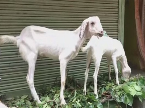 Goats are being sold online via social media platforms ahead of Bakra Eid 2020. (Photo/ANI)