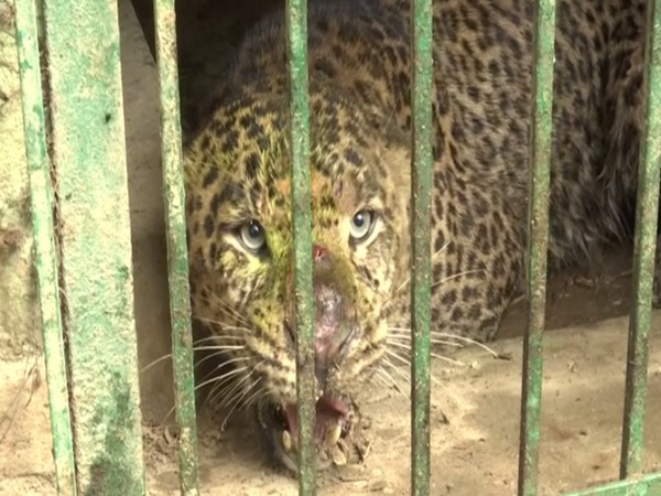 The suspected man-eater leopard (Photo/ANI)