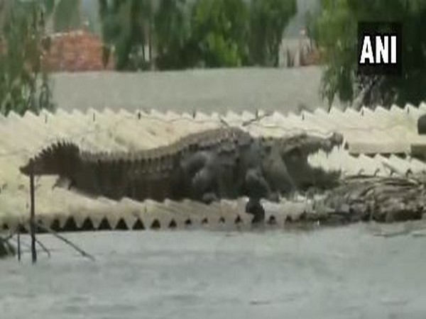 Crocodile spotted on a roof top in one of the flood-affected areas in Karnataka on Sunday. Photo/ANI