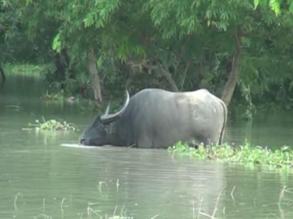 Flood-affected Pobitora Wildlife Sanctuary. (Photo/ANI)