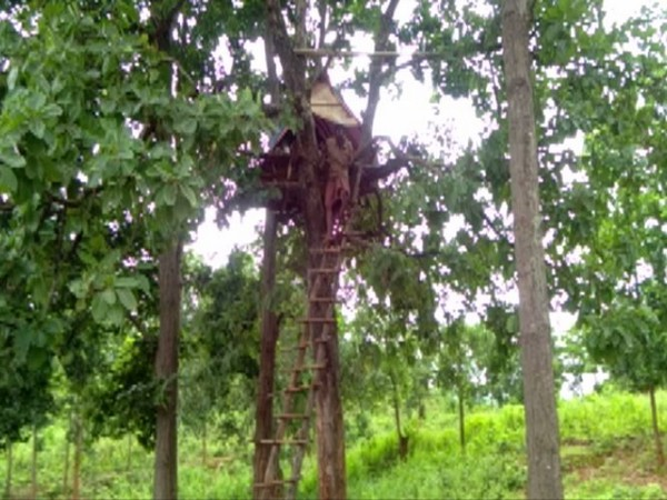 Why this Odisha Man resides on top of the tree?