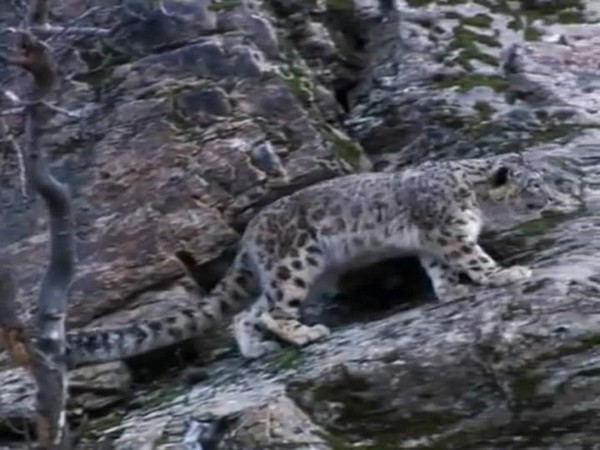 Snow leopard at Nanda Devi National Park in Joshimath development block of Chamoli.
