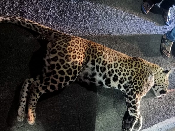 Leopard killed in a road accident in Palghar. (Photo/ ANI)