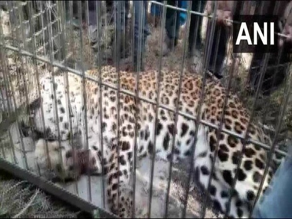 A visual of the injured Leopard. Photo/ANI