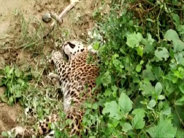 The injured leopard in the Falakata area of Alipurduar in West Bengal on Monday. Photo/ANI