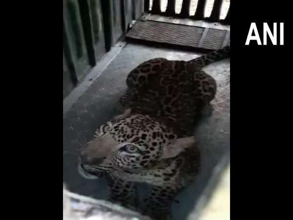 Leopard captured by forest officials in Nashik. (Photo/ANI)
