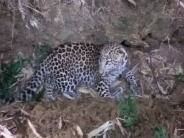 Leopard found in Dibrugarh district on Sunday. Photo/ANI